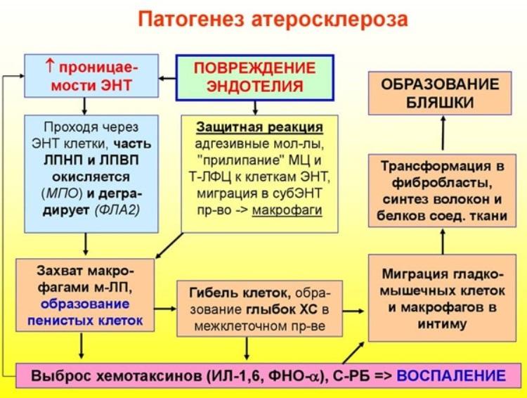 Краткий патогенез атеросклероза