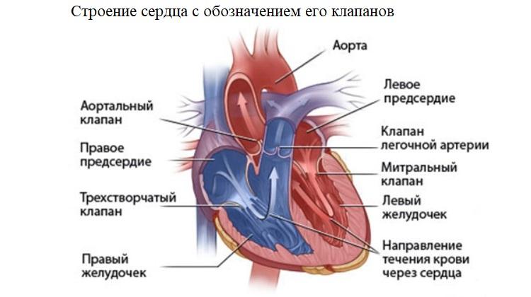 Строение сердца с обозначением его клапанов