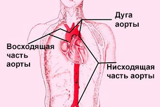 Топография аорты