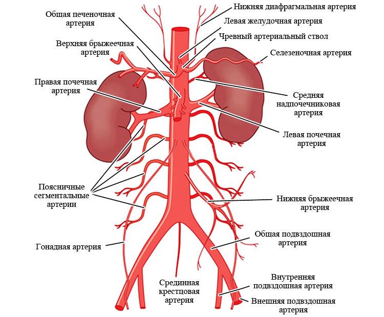 Артерии брюшной части нисходящего отдела аорты