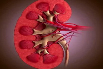 Эуфиллин повышает почечную перфузию