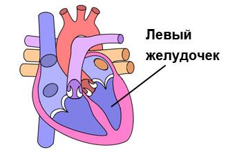 Левый желудочек сердца человека