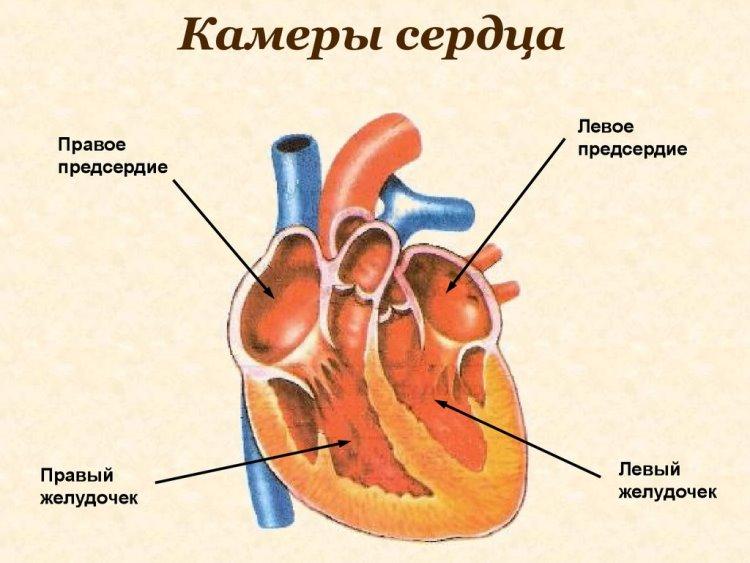 Внутренняя структура сердца