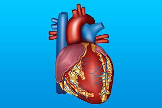 Морфологическая структура сердца