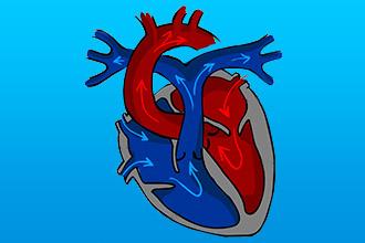 Функции человеческого сердца