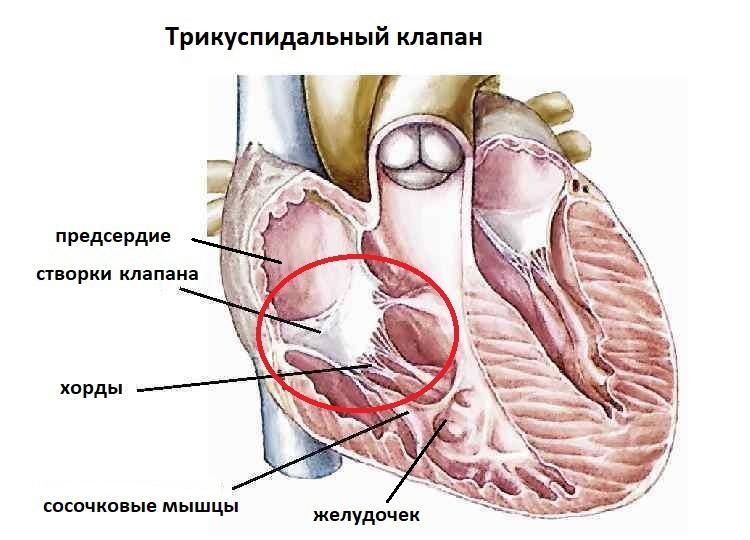 Как устроен трикуспидальный клапан